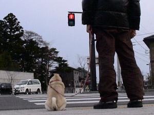 オスワリ上手は信号待ち上手(=^m^=)