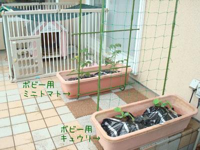 ボビーのためにお野菜を植えました。涼々は野菜断ちをしているので見てるだけ~。