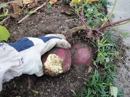 涼々家のサツマイモ畑