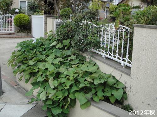 サツマイモ花壇