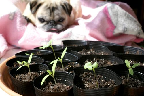 プチトマトが発芽してくれて嬉しいな!